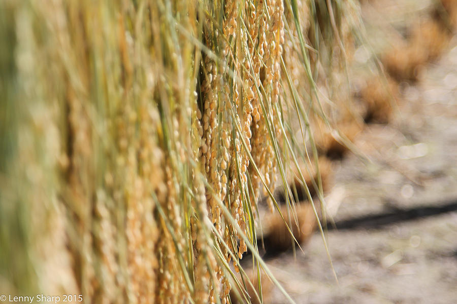 Japan Photograph - Rice Harvest by Leonard Sharp