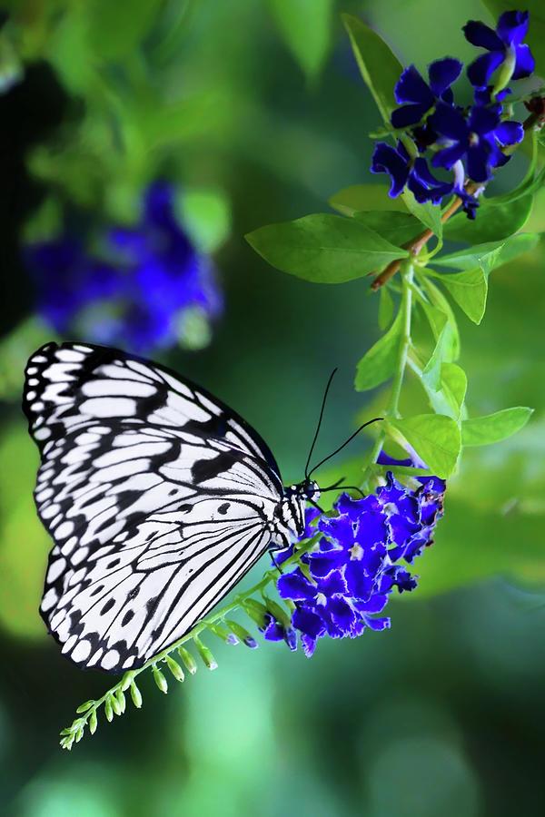 Butterflies Photograph - Rice Paper Butterfly by Nikolyn McDonald