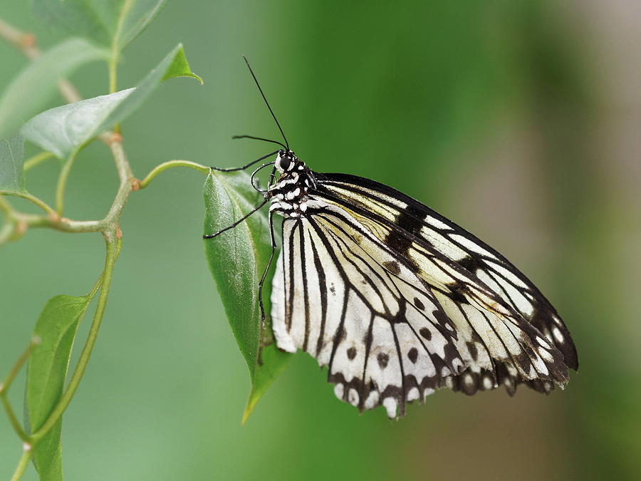 Rice Paper Butterfly by Paul Gulliver