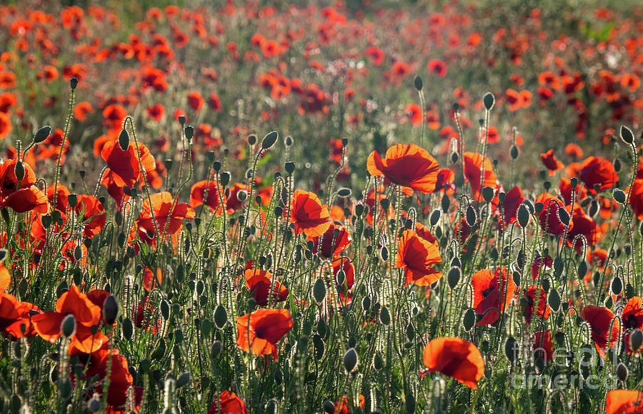 Dusk Photograph - Rich Red Poppys by Paul Farnfield