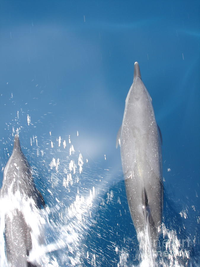 Dolphins Photograph - Riding The Bow by Chad Natti