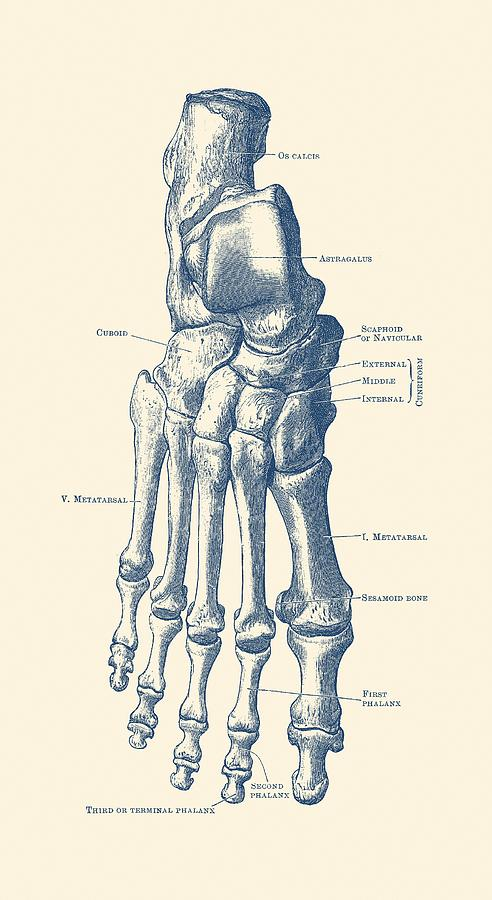 Right Foot Skeletal Diagram - Vintage Anatomy Poster Drawing by ...
