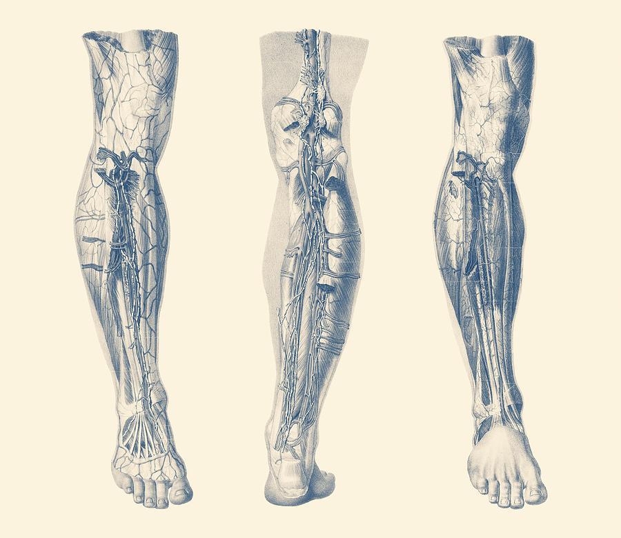 Right Leg - Triple View - Muscular System Diagram Drawing by Vintage ...