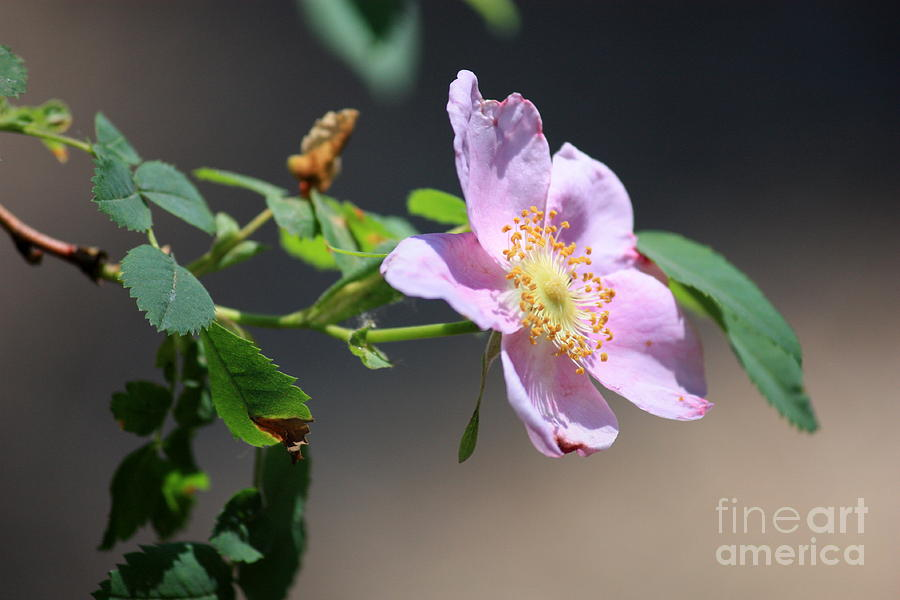 Floral Photograph - Rimrock Rose by Carol Groenen