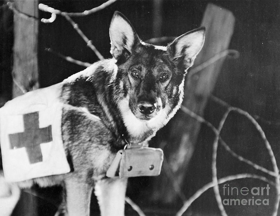 1924 Photograph - Rin-tin-tin (1916-1932) by Granger