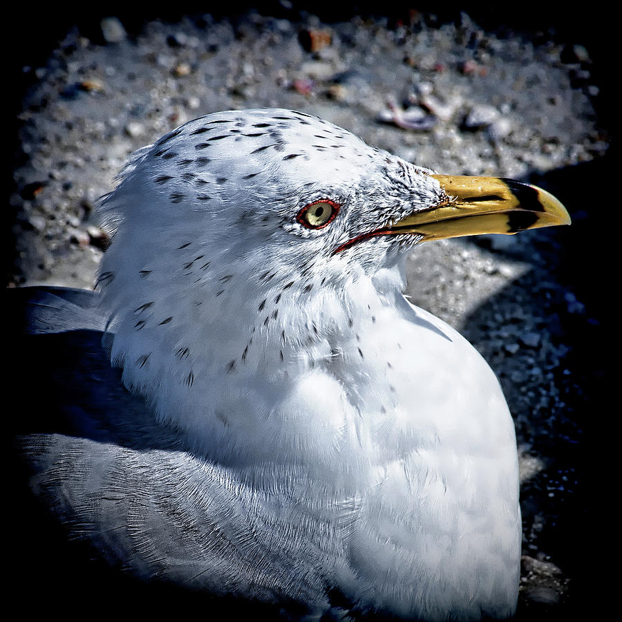 Ring-billed Gull by Andrew Chianese