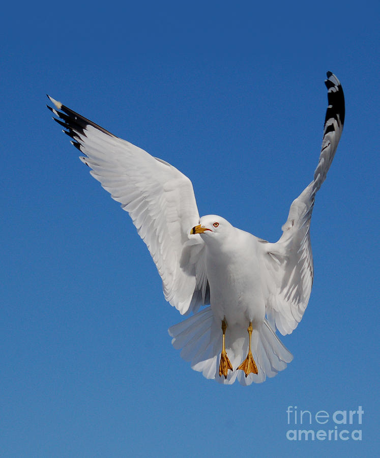 Animal Photograph - Ring Billed Gull In Flight by Mircea Costina Photography