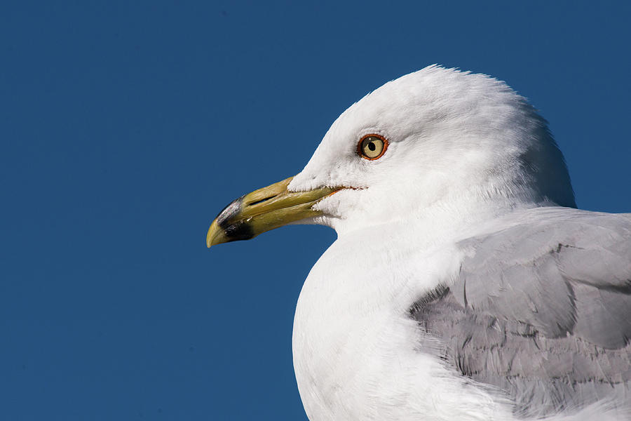 Ring-billed Gull Portrait Photograph