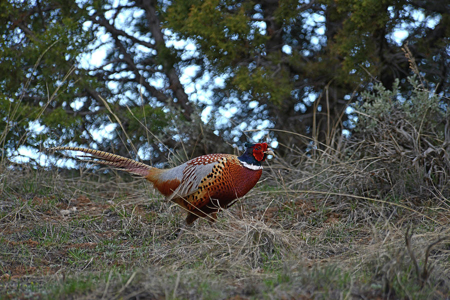 Ring Necked Pheasant by David Armstrong