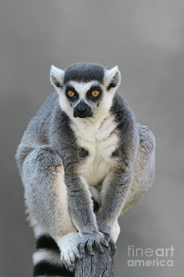Ring-tailed Lemur #4 V2 by Judy Whitton