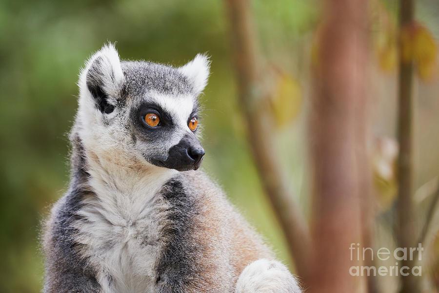 Ring-tailed Lemur Closeup Photograph