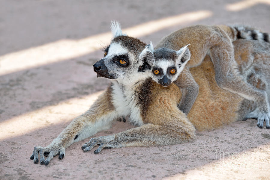 Ring Tailed Lemur Photograph - Ring Tailed Lemur With Baby by George Atsametakis