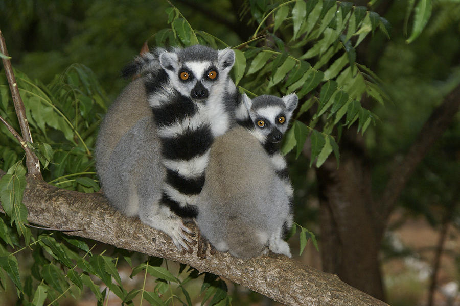 Madagascar Photograph - Ring-tailed Lemurs by Michele Burgess