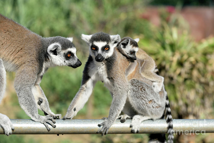 Ring Tailed Lemur Photograph - Ring Tailed Lemurs With Baby by George Atsametakis