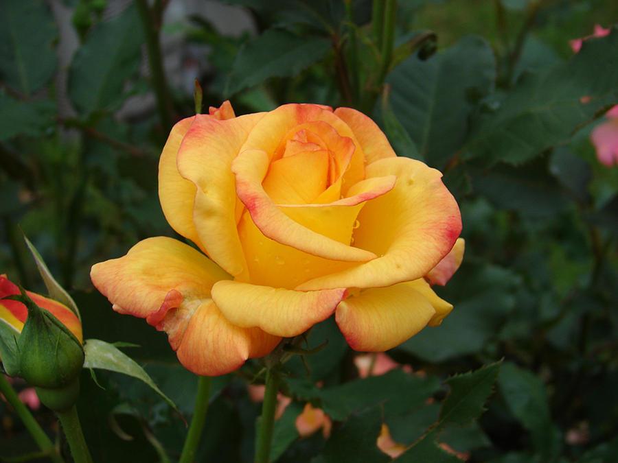 Rose Photograph - Rio Samba by Renee Cain-Rojo