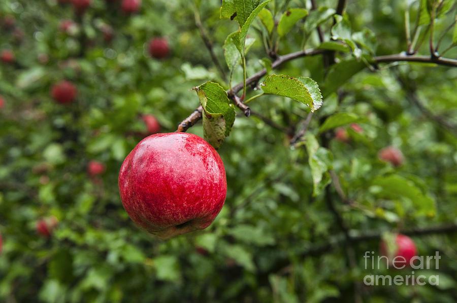 Maine Photograph - Ripe Apples. by John Greim