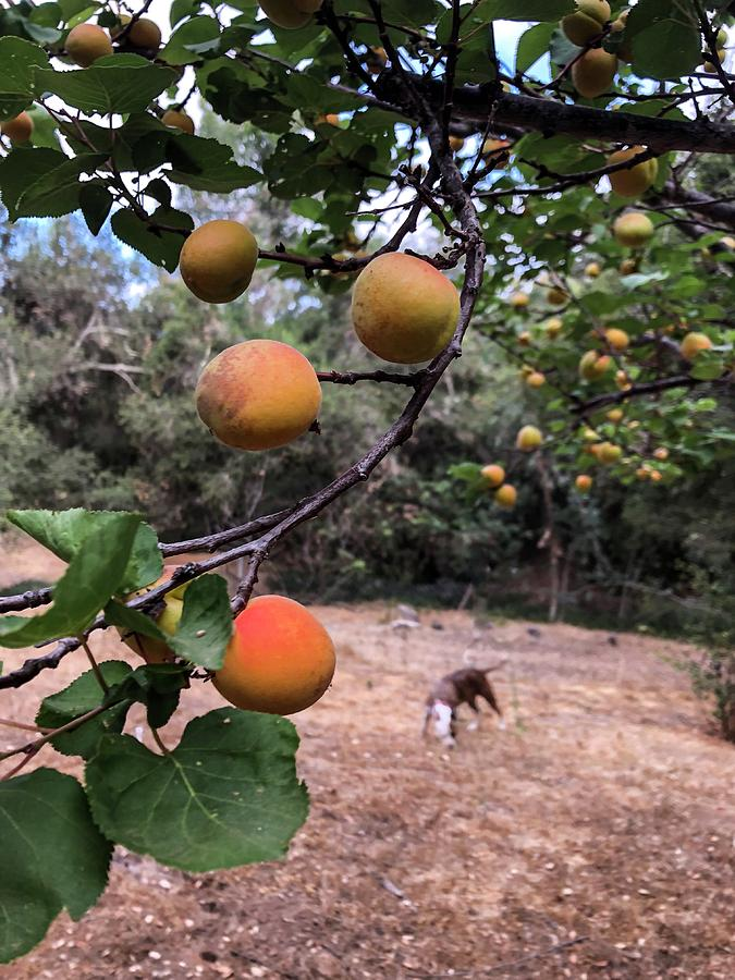 Ripening Apricots and a dog by Dina Calvarese