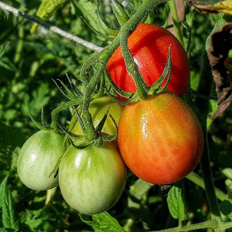Tomato Photograph - ripening #photography #garden by Andrew Pacheco