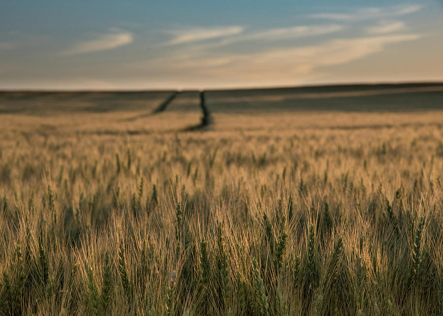 Field Photograph - Ripening Wheat No. 1 by Al White
