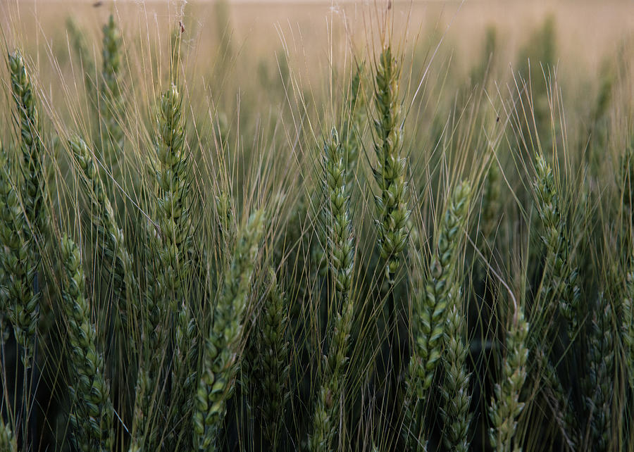 Wheat Photograph - Ripening Wheat No. 2 by Al White