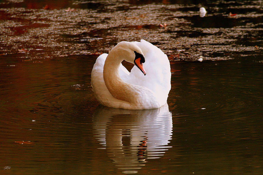 Swan Photograph - Rippled Reflection by Jason Blalock
