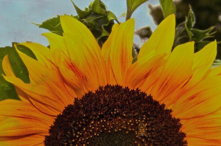 Sunflower Photograph - Rising Sun by Odd Jeppesen