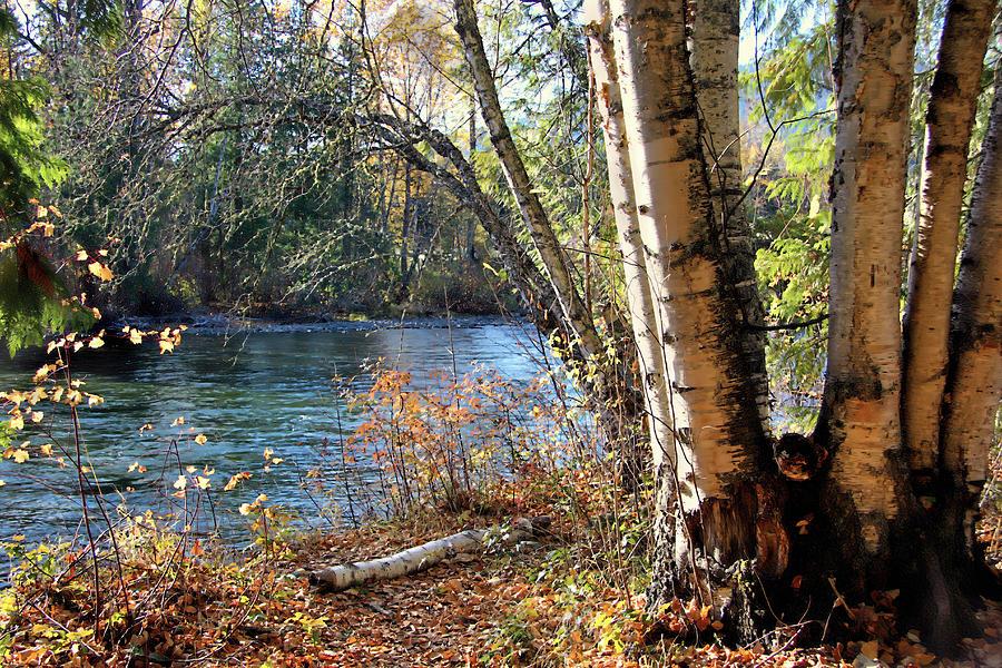 River Birch by Kathy Bassett
