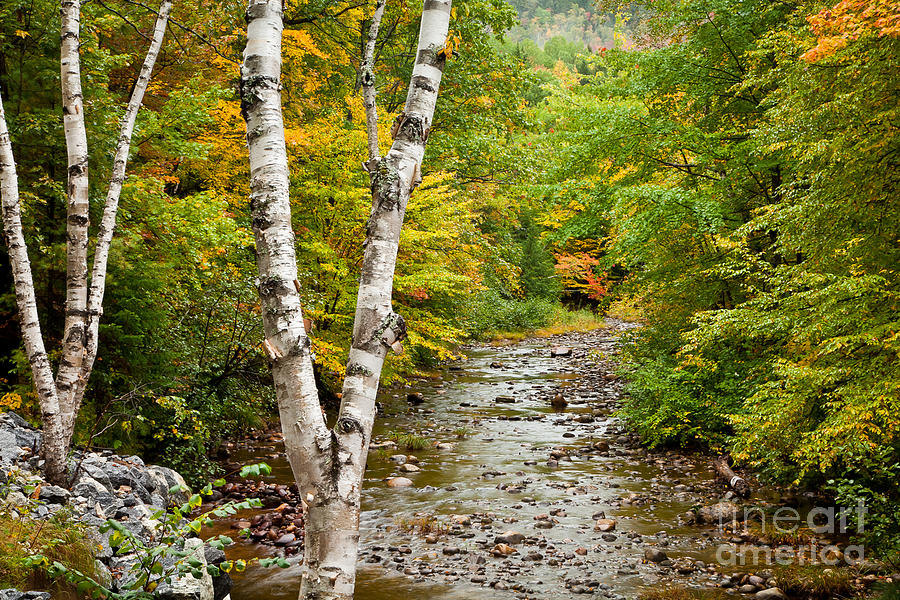 Autumn Photograph - River Birch by Susan Cole Kelly