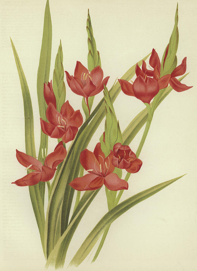 Red Painting - River Lily Or Crimson Flag by English School