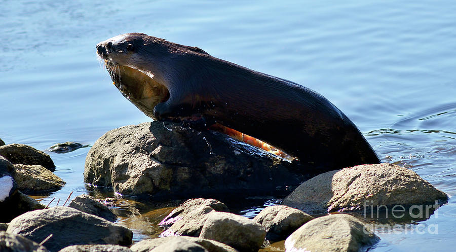 River Otter Photograph - River Otter And Catch Of The Day by Terry Elniski
