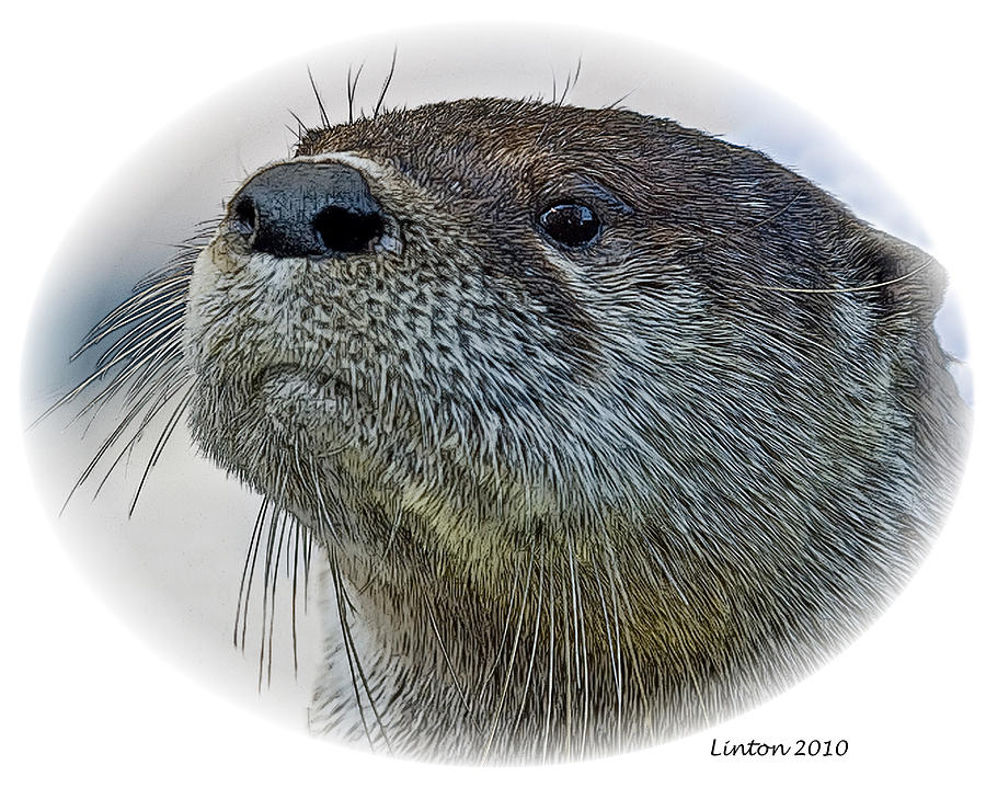 River Otter Digital Art By Larry Linton