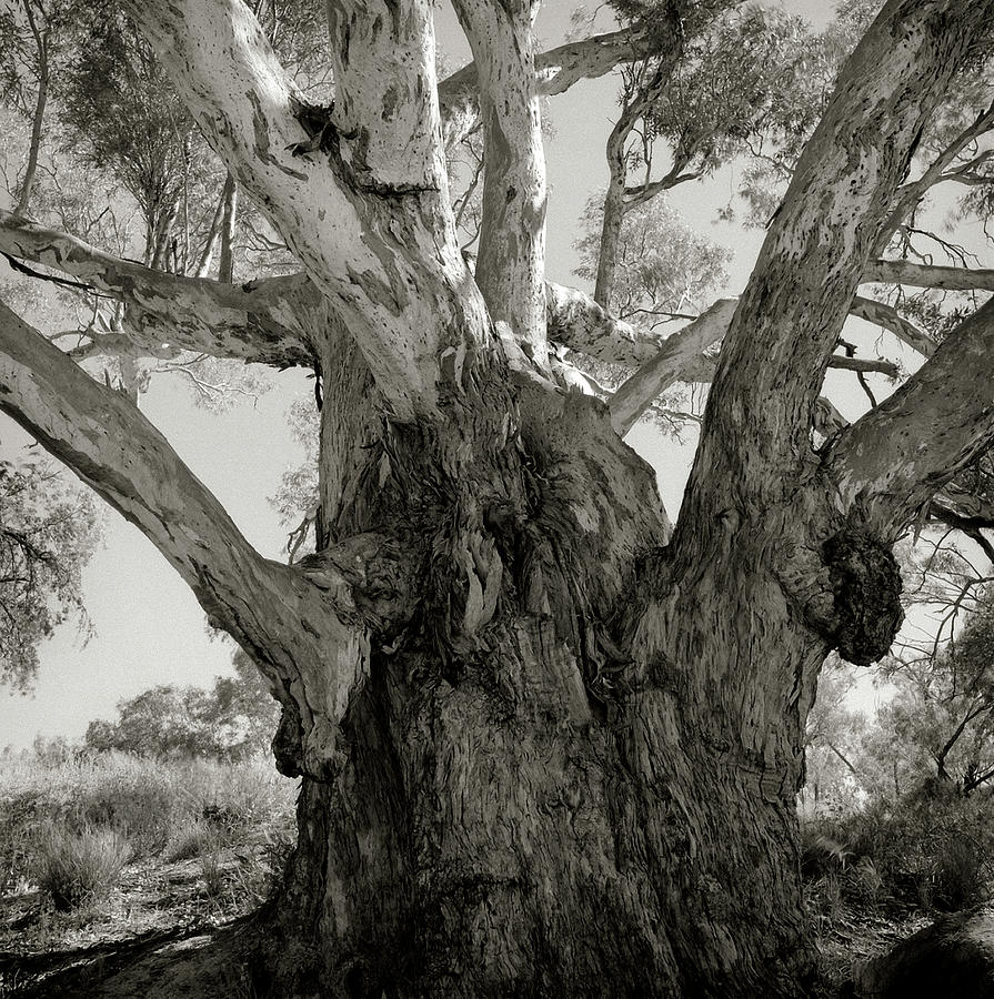 Photograph Photograph - River Red Gum by Bruce Cowell