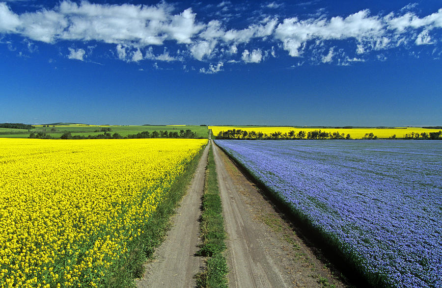 Blue Photograph - Road Through Flowering Flax And Canola by Dave Reede