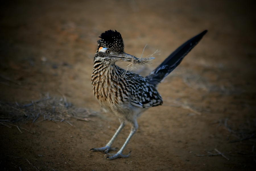 Wildlife Photograph - Roadrunner by Butch Ramirez