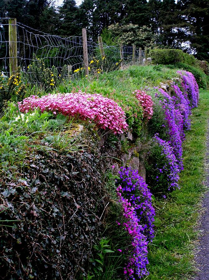 Flowers Photograph - Roadside Beauty In Ireland by Jeanette Oberholtzer