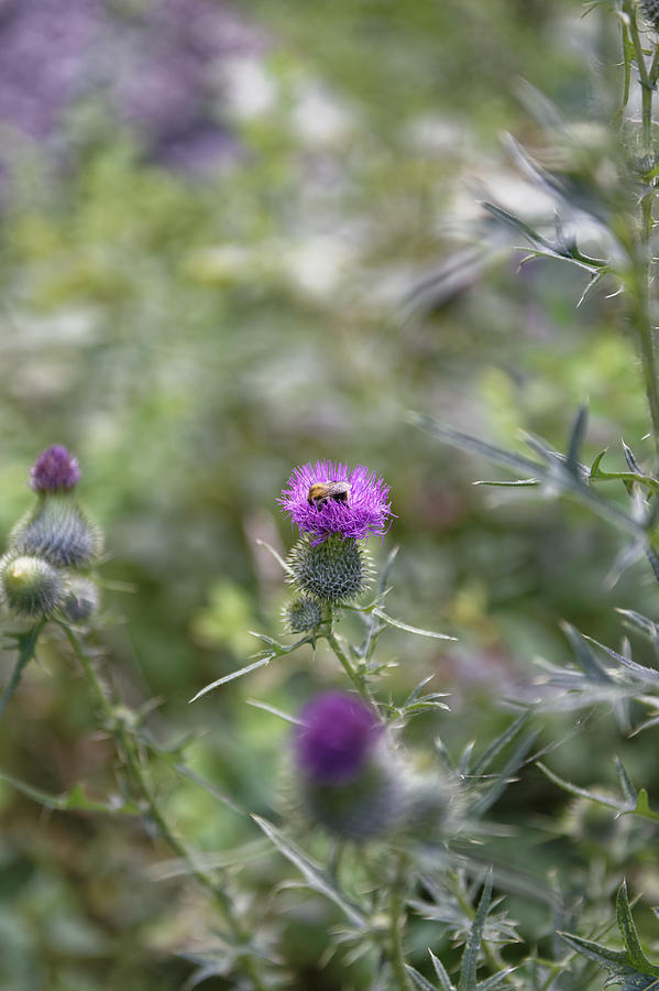 Autumn Photograph - Roadside Thistle Bee Polination by Adrian Bud