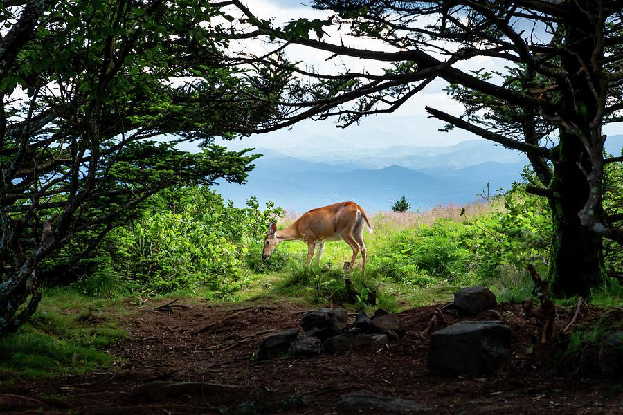 Roan Highlands Photograph - Roan Deer by Jim Neal