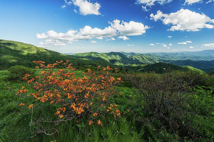Roan Highlands Photograph - Roan Highlands - Flame Azalea by Jason Penland