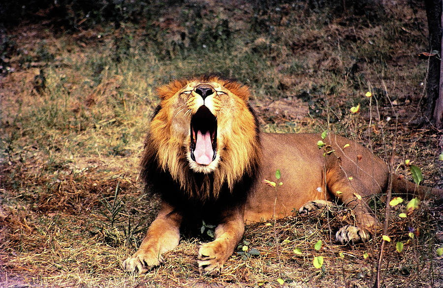Lion Photograph - Roar Of Asitic Lion  by Manjot Singh Sachdeva