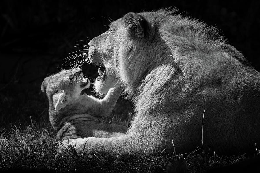 Lion Photograph - Roar practice by RT Photography
