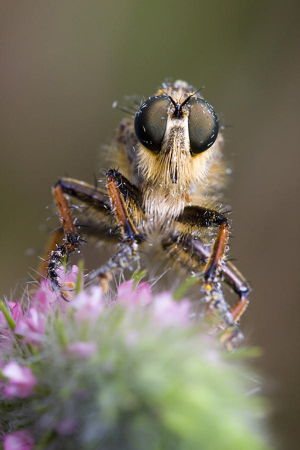 Fly Photograph - Robberfly by Andre Goncalves