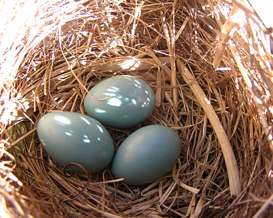 Robin Photograph - Robin Eggs by Angie Rea