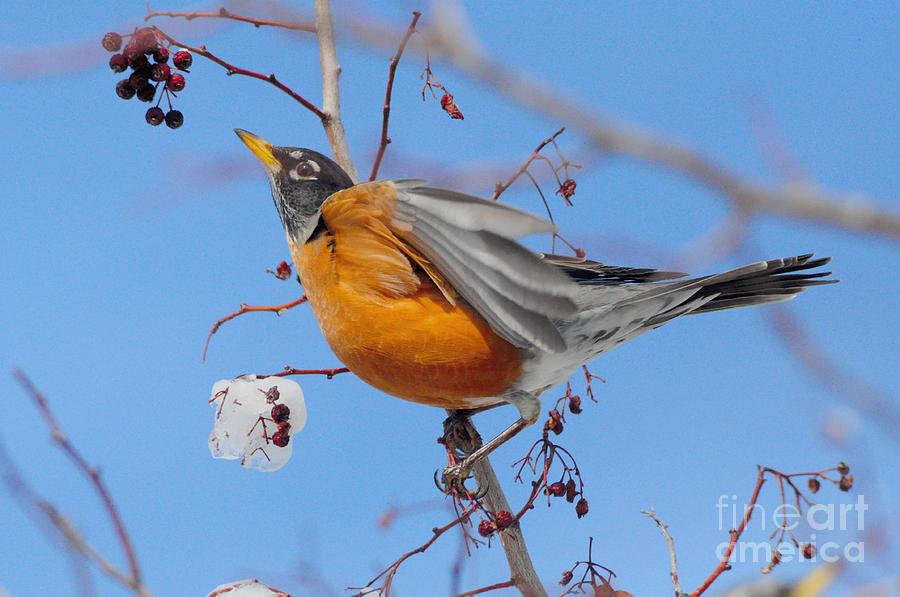 Robin Photograph - Robin Eying Berries by Merrimon Crawford
