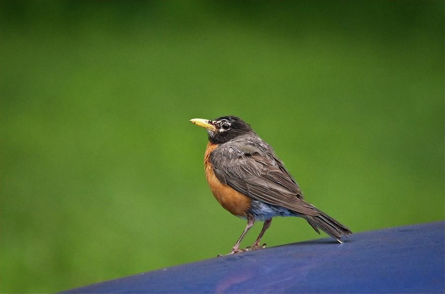 Robin Gazing by John Benedict