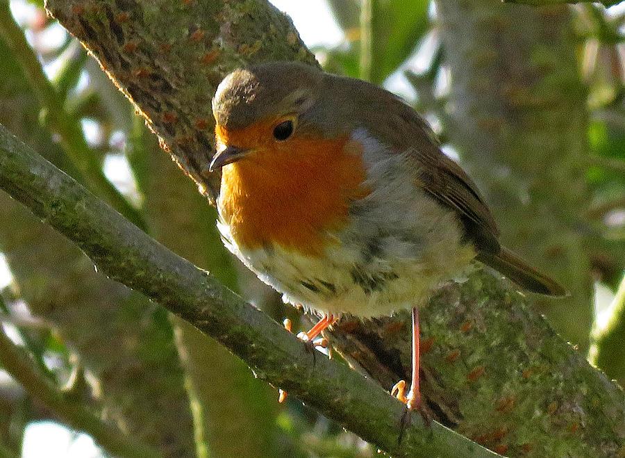 Robin Photograph - Robin In A Tree by John Topman