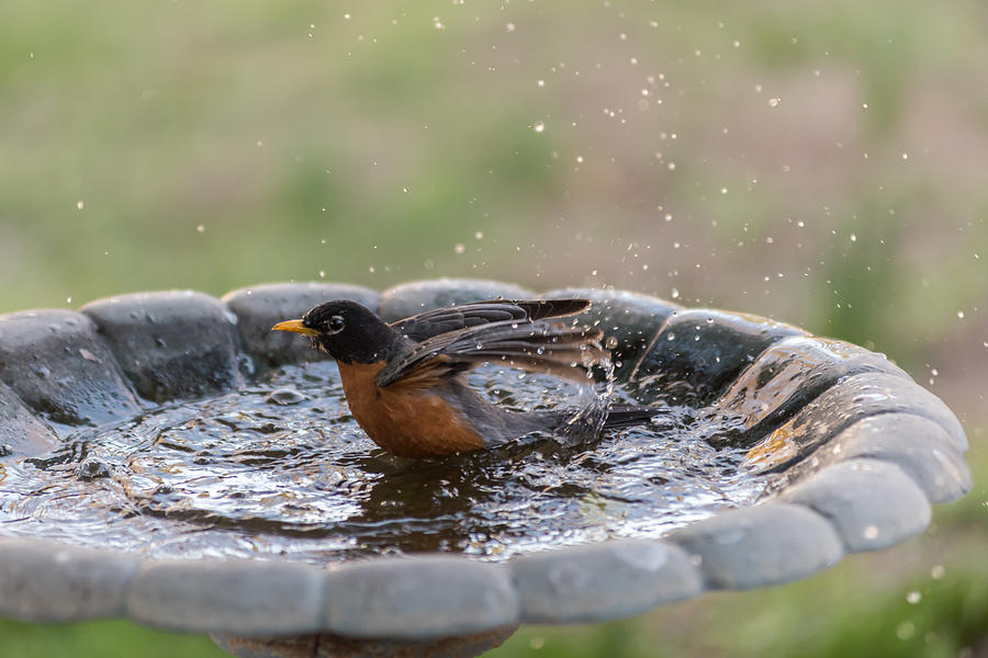 Robin Photograph - Robin In Bird Bath New Jersey  by Terry DeLuco