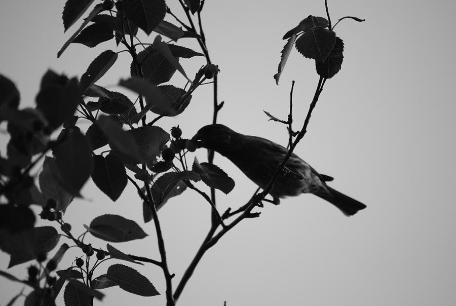 Bird Photograph - Robin In Black And White  by Michelle  BarlondSmith