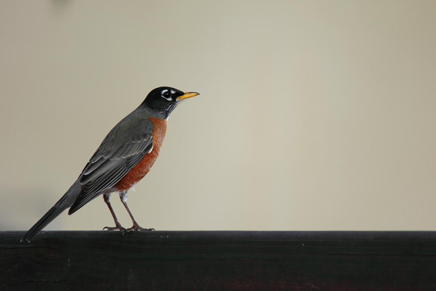 Bird Photograph - Robin by Jamie Smith