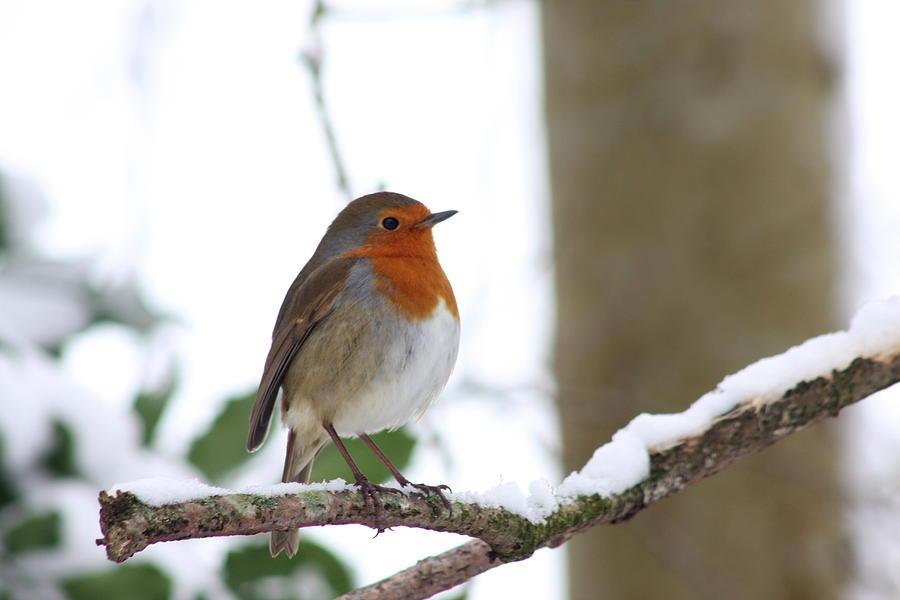 Robin Photograph - Robin by Kyle Hillman