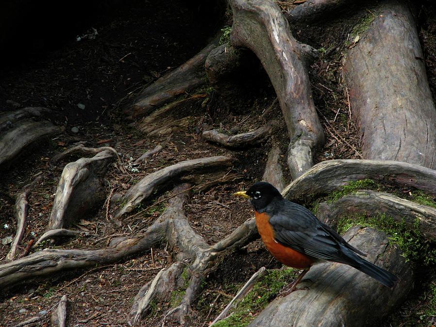 Robin Photograph - Robin by Nancy Morrison